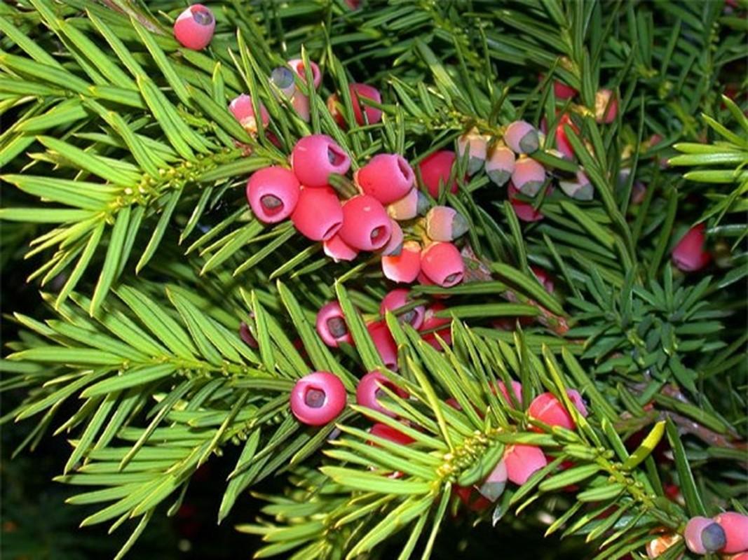 Thủy tùng English Yew (Taxus baccata) có độc tính rất mạnh. Thành phần độc trong cây là alkaloids taxine, nó có ở tất cả mọi bộ phận trừ lớp vỏ ngoài của hạt. Độc có thể dẫn đến những triệu chứng nghiêm trọng như chóng mặt, khô miệng, giãn đồng tử, suy nhược, nhịp tim bất thường và dẫn đến tử vong.