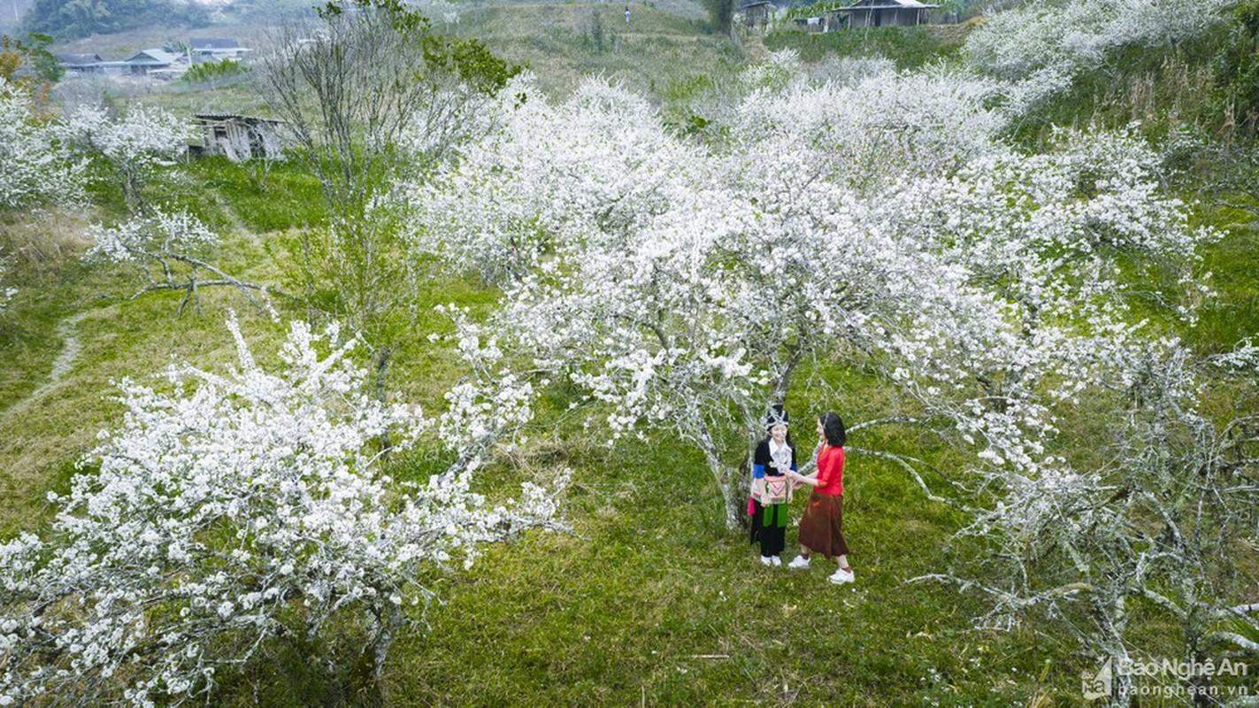 Hoa man no trang troi o mien Tay Nghe An cho don Tet-Hinh-5