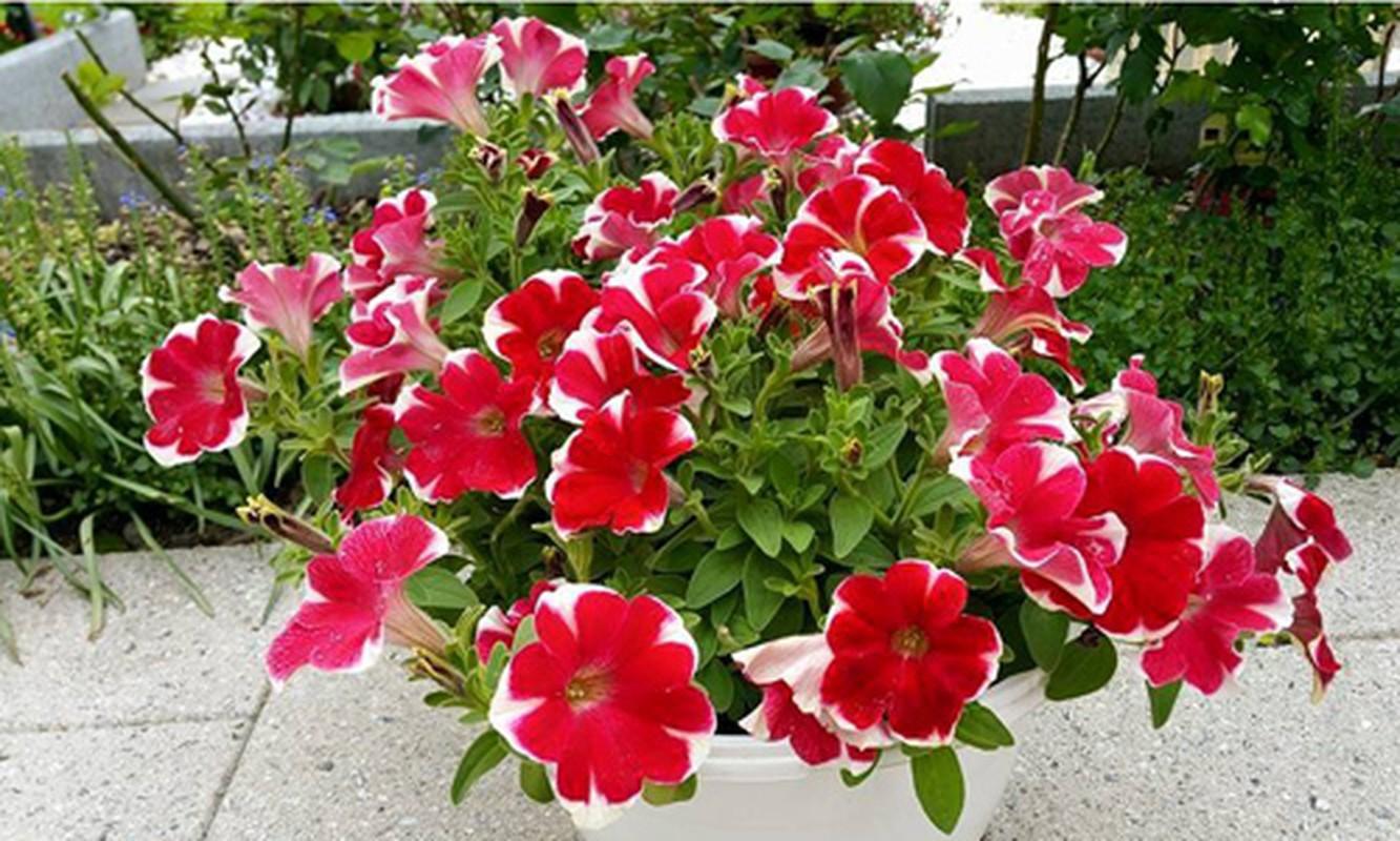 Vuon hoa dep me ly cua gia dinh Viet o Thuy Si-Hinh-13