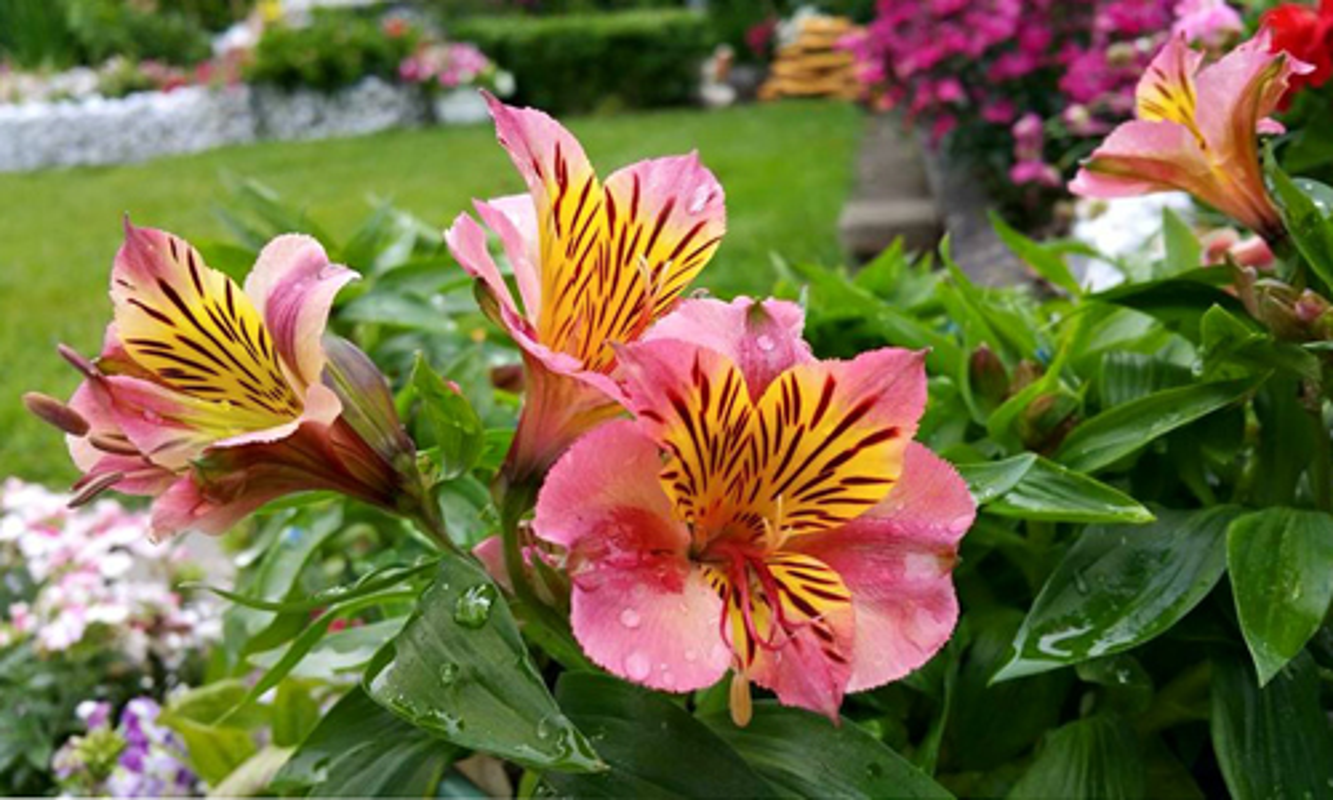 Vuon hoa dep me ly cua gia dinh Viet o Thuy Si-Hinh-7