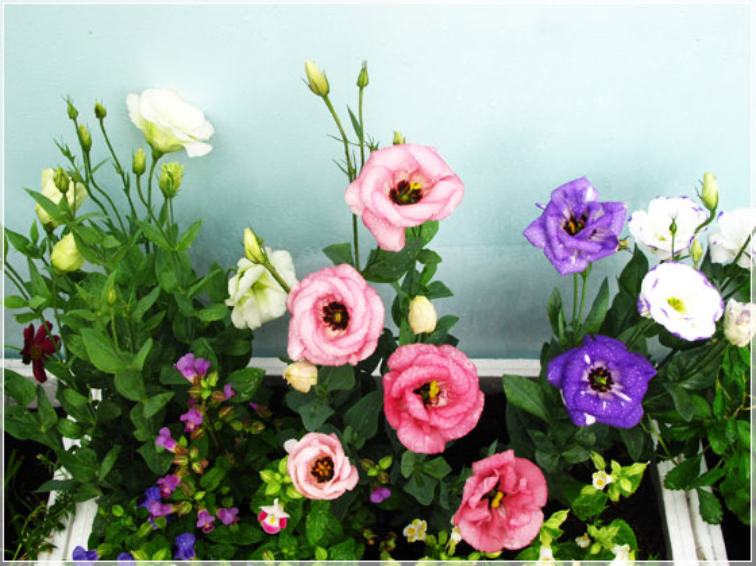 Nhung loai hoa ngay Tet nen chung trong nha de don tai loc-Hinh-8