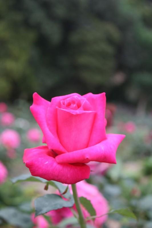 Me man khu vuon hon 1.800 cay hoa hong no ruc ro ngat huong-Hinh-2