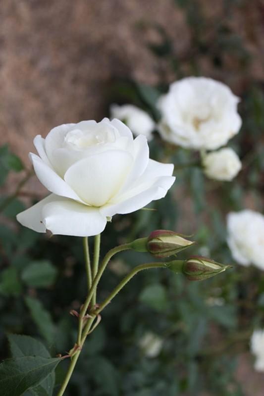 Me man khu vuon hon 1.800 cay hoa hong no ruc ro ngat huong-Hinh-5