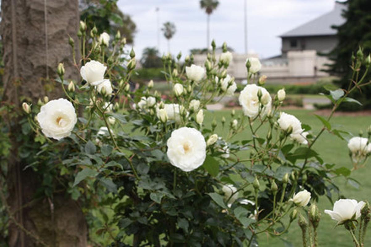 Me man khu vuon hon 1.800 cay hoa hong no ruc ro ngat huong-Hinh-7