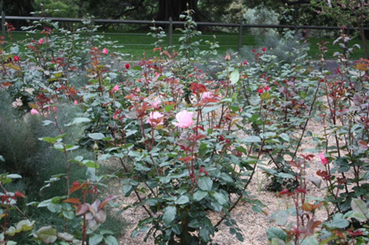 Me man khu vuon hon 1.800 cay hoa hong no ruc ro ngat huong-Hinh-8