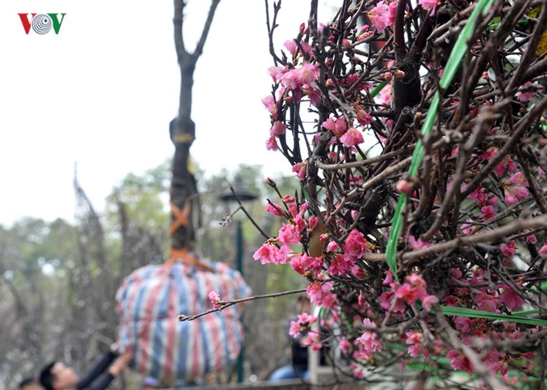 Nhung cay hoa anh dao Nhat Ban duoc chuyen ve vuon hoa Ly Thai To-Hinh-11