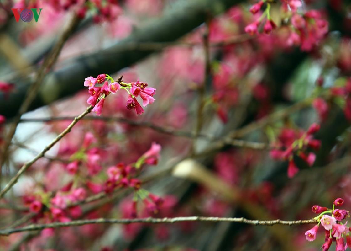 Nhung cay hoa anh dao Nhat Ban duoc chuyen ve vuon hoa Ly Thai To-Hinh-3