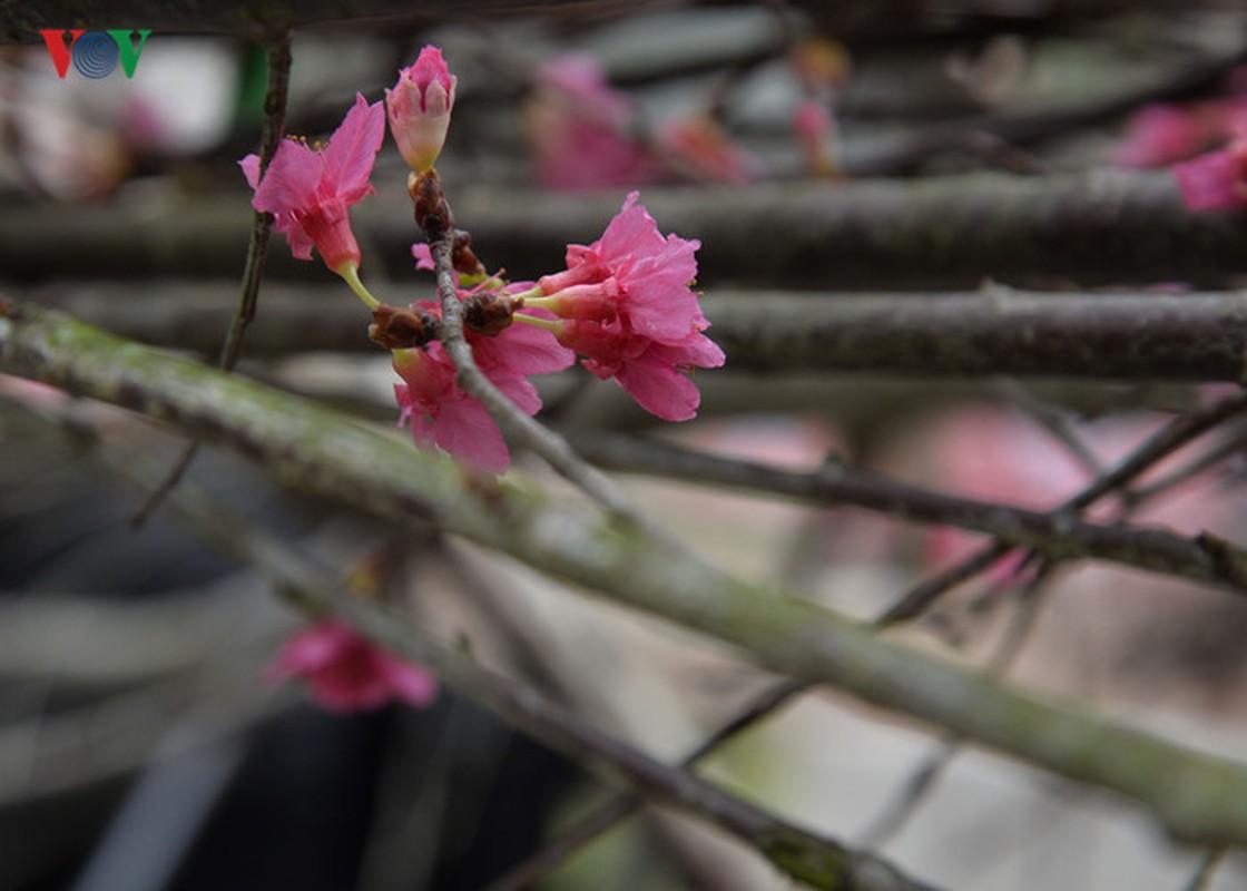 Nhung cay hoa anh dao Nhat Ban duoc chuyen ve vuon hoa Ly Thai To-Hinh-4