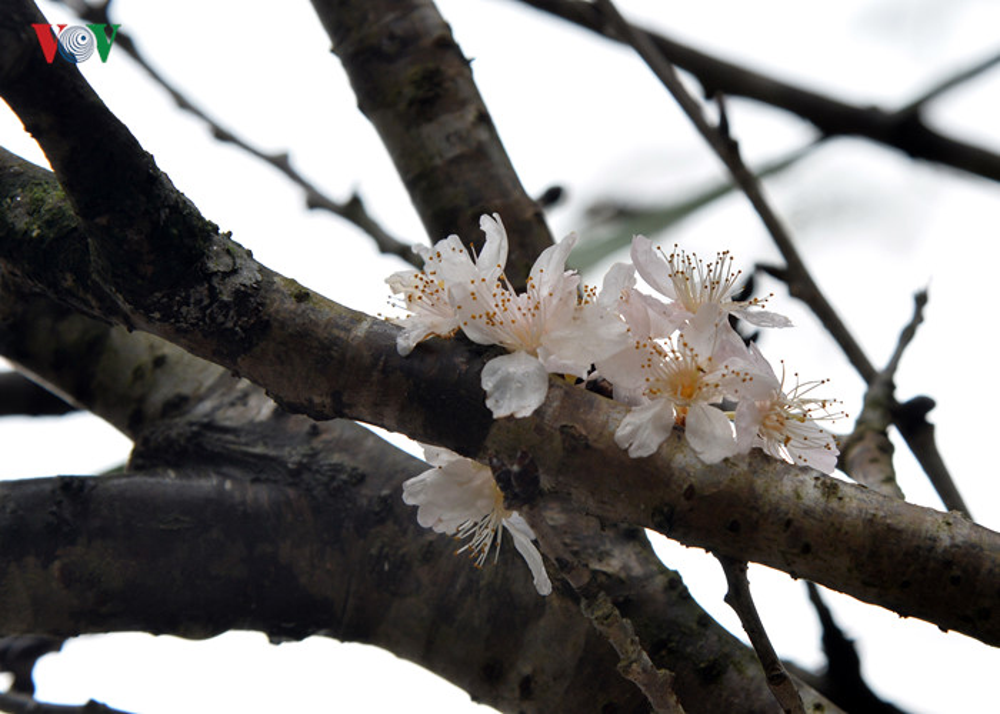 Nhung cay hoa anh dao Nhat Ban duoc chuyen ve vuon hoa Ly Thai To-Hinh-5