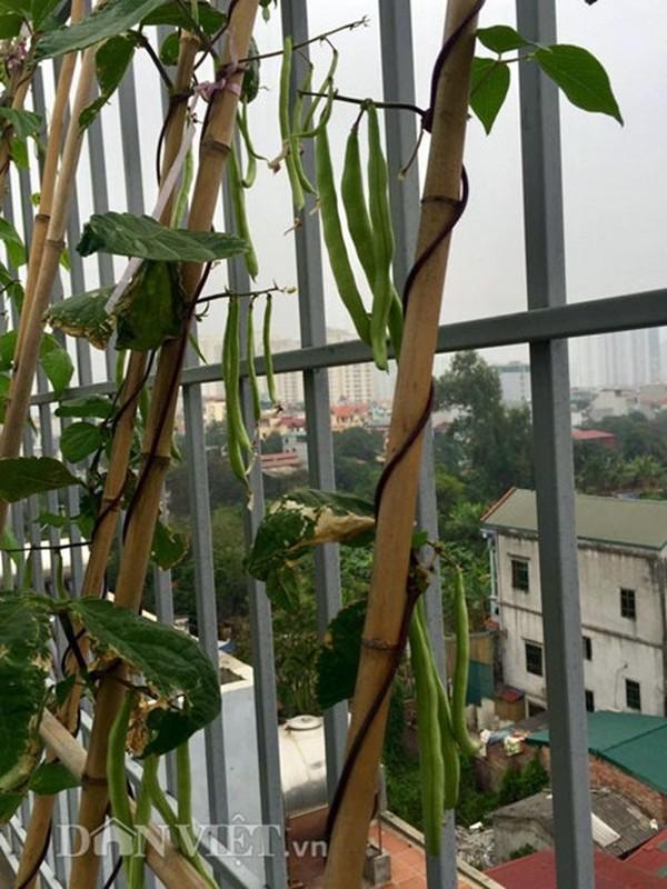 Vuon cay trai triu gian tren san thuong cua ong bo Thu do-Hinh-5