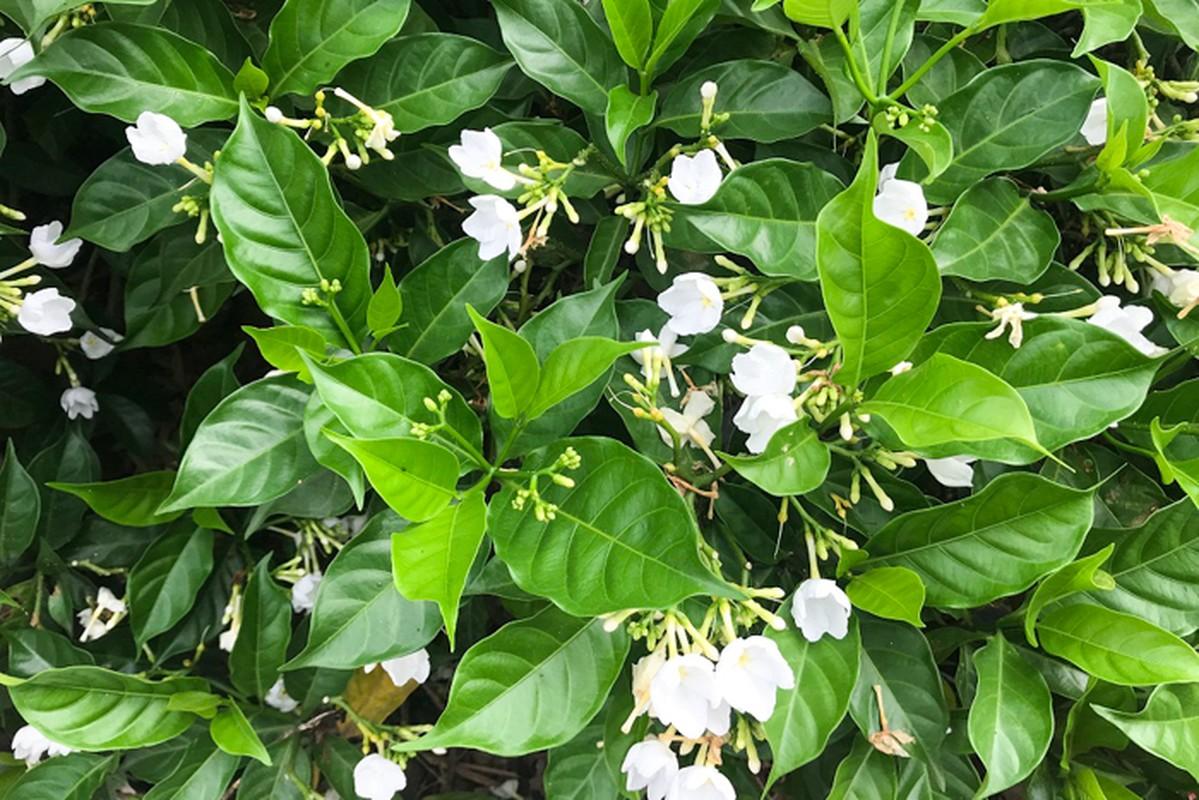 Can canh hang hoa nhai trong doc duong di bo ven song To Lich-Hinh-13