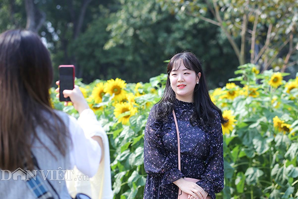 Thieu nu Ha thanh hao huc chup hoa huong duong o thanh Thang Long-Hinh-6