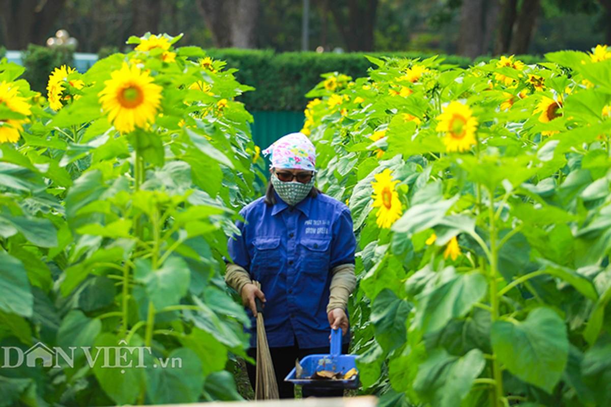 Thieu nu Ha thanh hao huc chup hoa huong duong o thanh Thang Long-Hinh-9