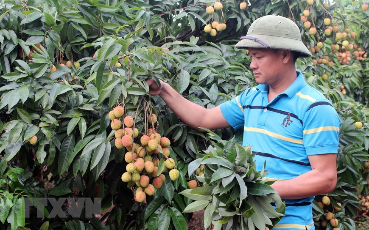 Tin vui cho nguoi nong dan: Vai Phuc Hoa dau mua cua Bac Giang duoc gia-Hinh-2