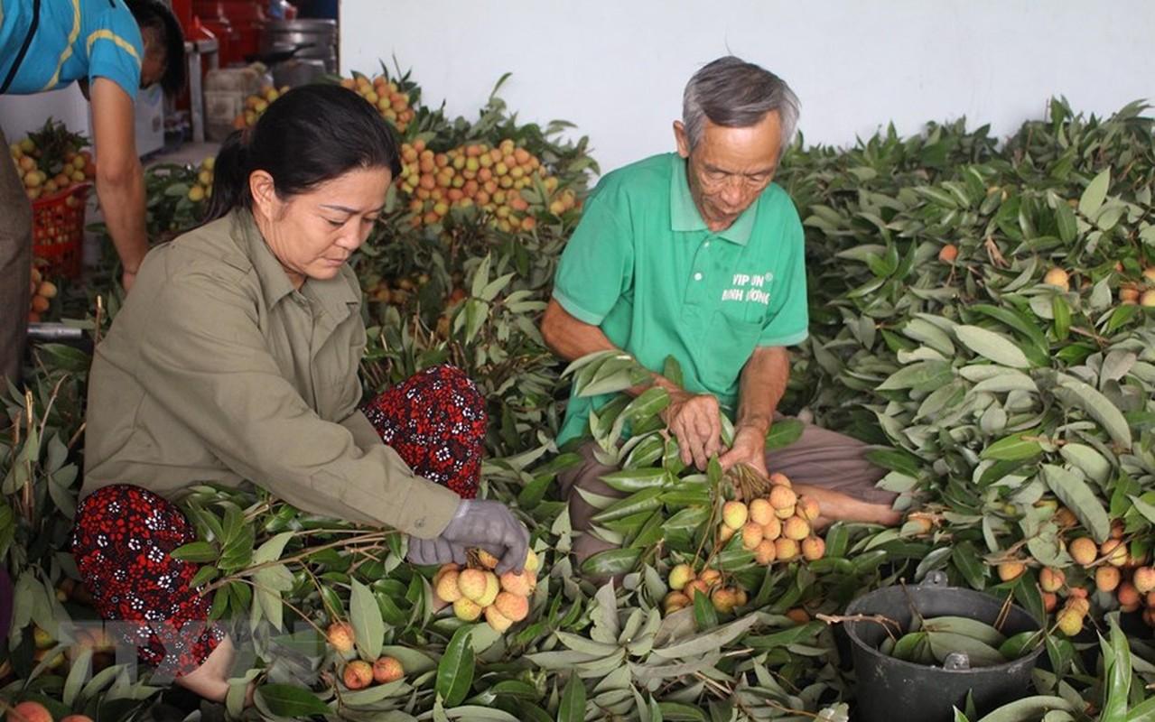 Tin vui cho nguoi nong dan: Vai Phuc Hoa dau mua cua Bac Giang duoc gia-Hinh-3