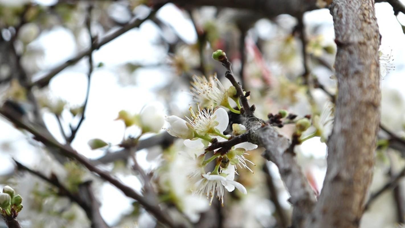 Hoa mo rung trang muot, hang la hut khach choi Tet-Hinh-3