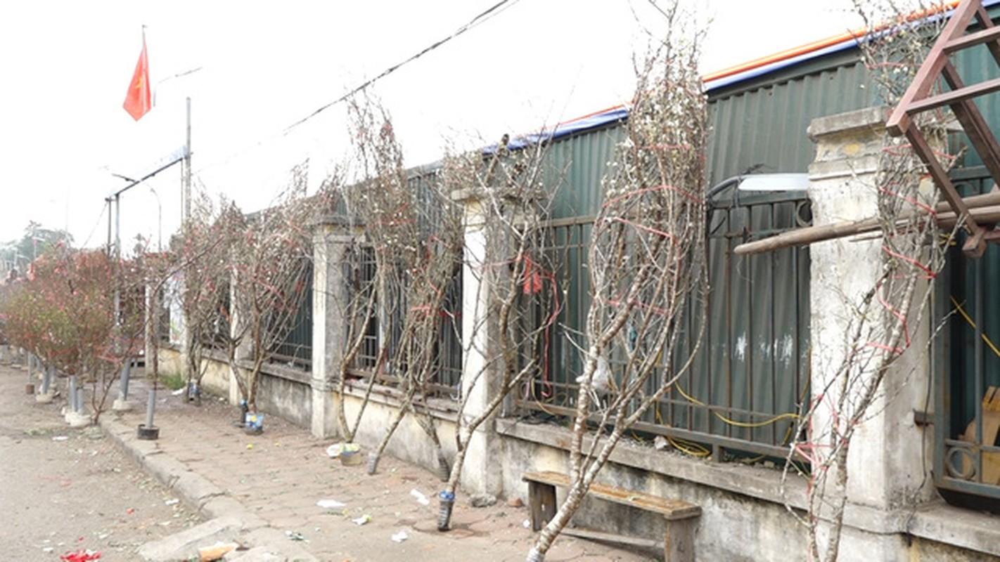 Hoa mo rung trang muot, hang la hut khach choi Tet-Hinh-4