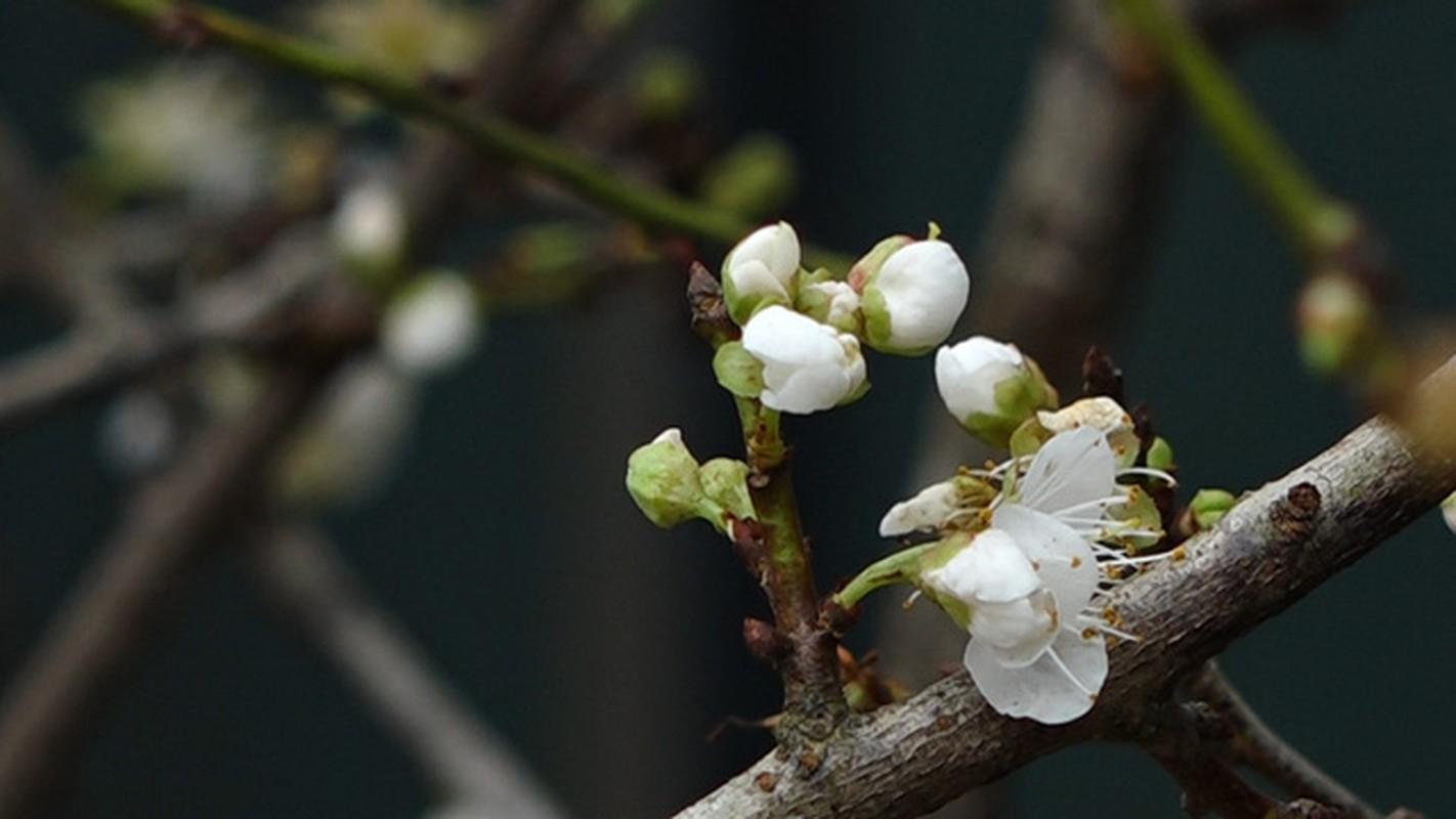 Hoa mo rung trang muot, hang la hut khach choi Tet-Hinh-5