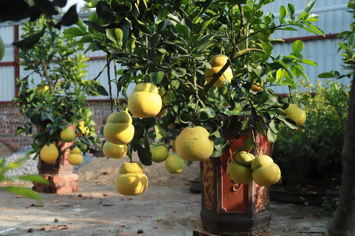 Hoa mo rung trang muot, hang la hut khach choi Tet-Hinh-7