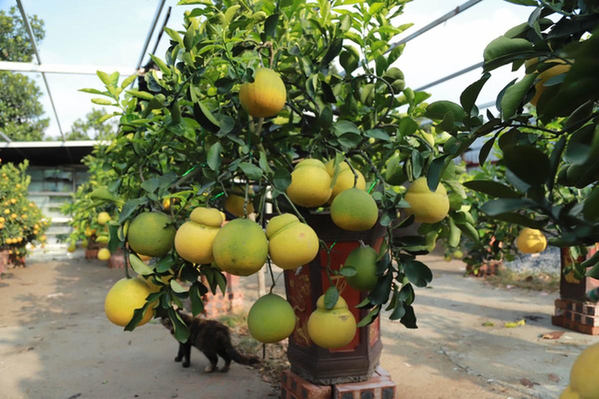 Hoa mo rung trang muot, hang la hut khach choi Tet-Hinh-8