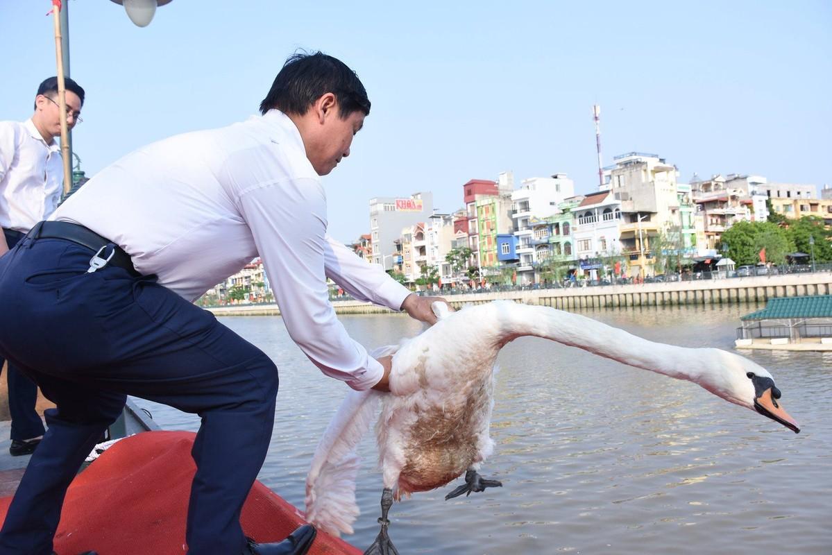 Ngam 130 con thien nga vua duoc tha xuong song Tam Bac - Hai Phong-Hinh-2
