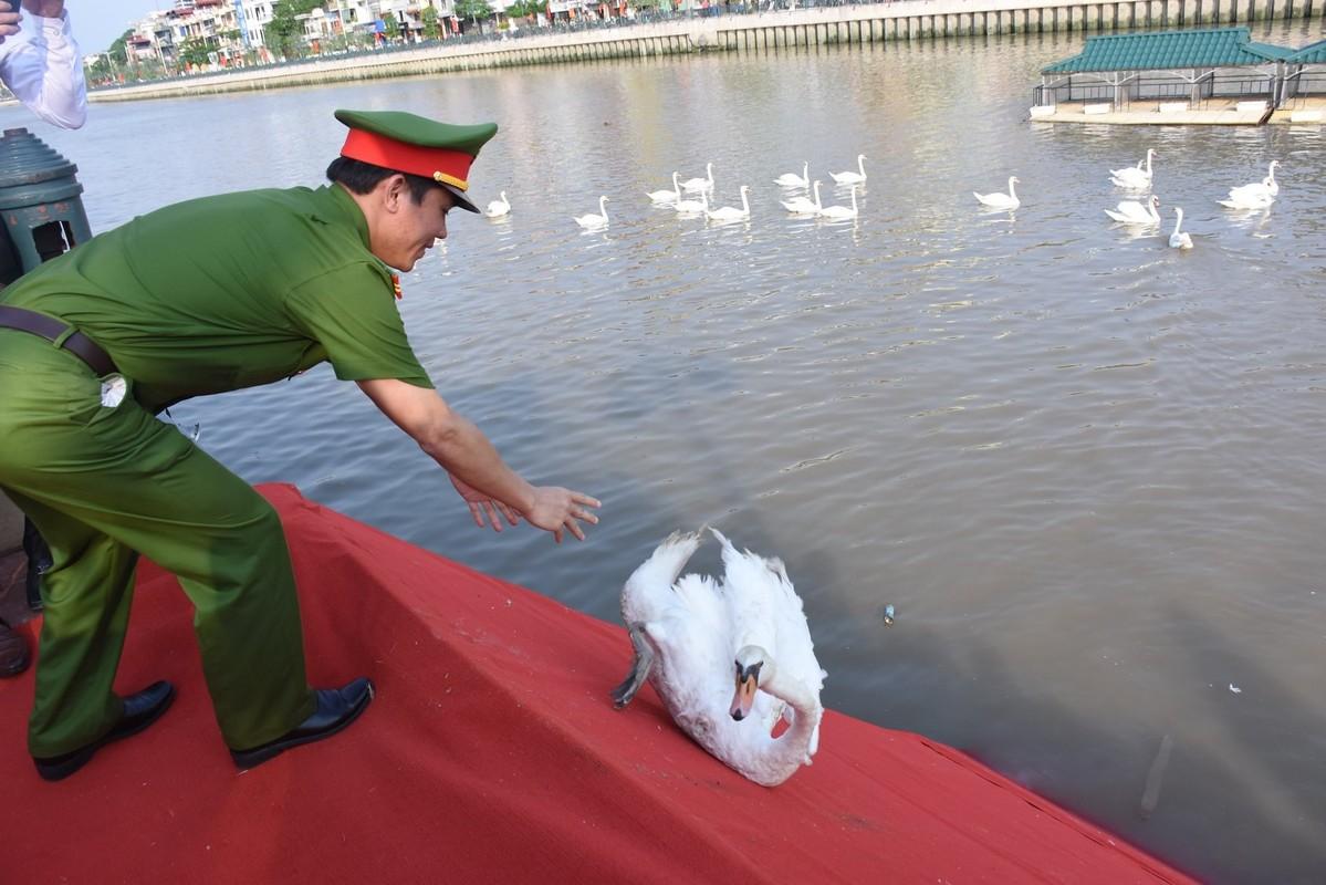 Ngam 130 con thien nga vua duoc tha xuong song Tam Bac - Hai Phong-Hinh-4