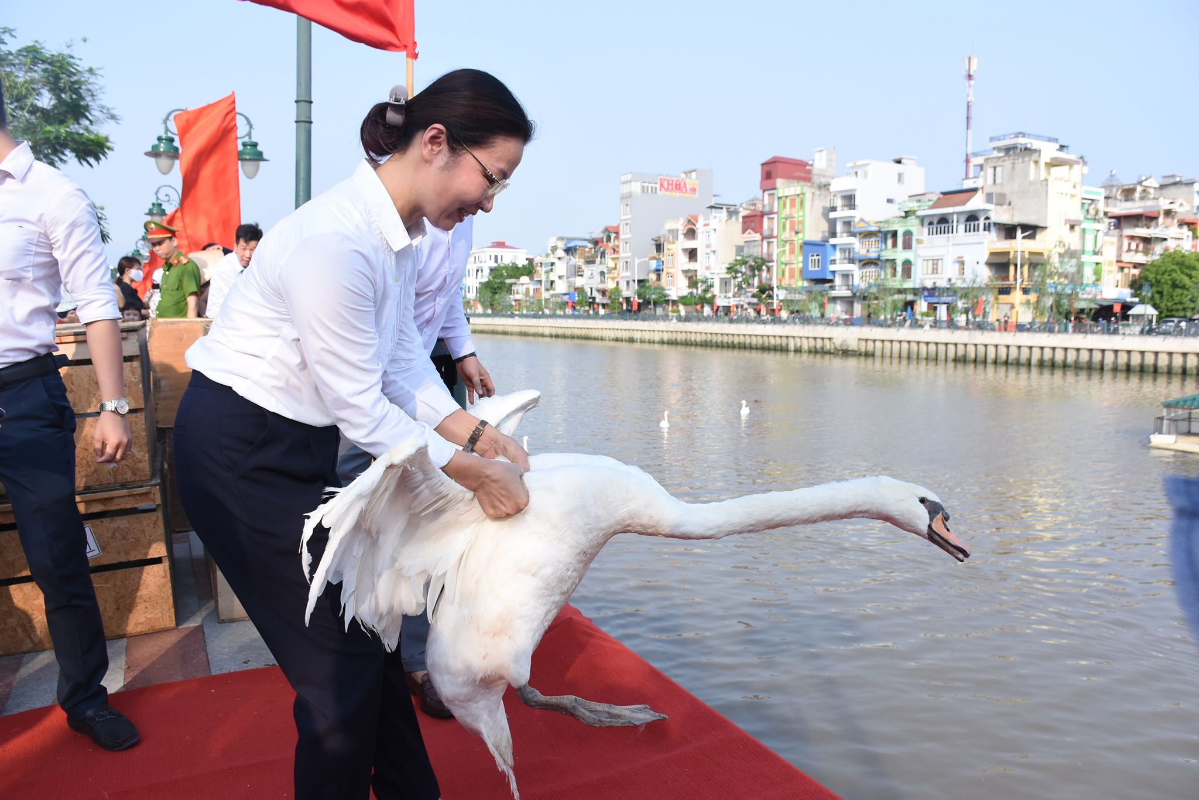 Ngam 130 con thien nga vua duoc tha xuong song Tam Bac - Hai Phong
