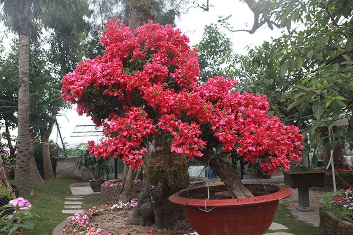 Bonsai hoa giay Thai Lan hong ruc, gia chuc trieu van hut khach Ha thanh-Hinh-10
