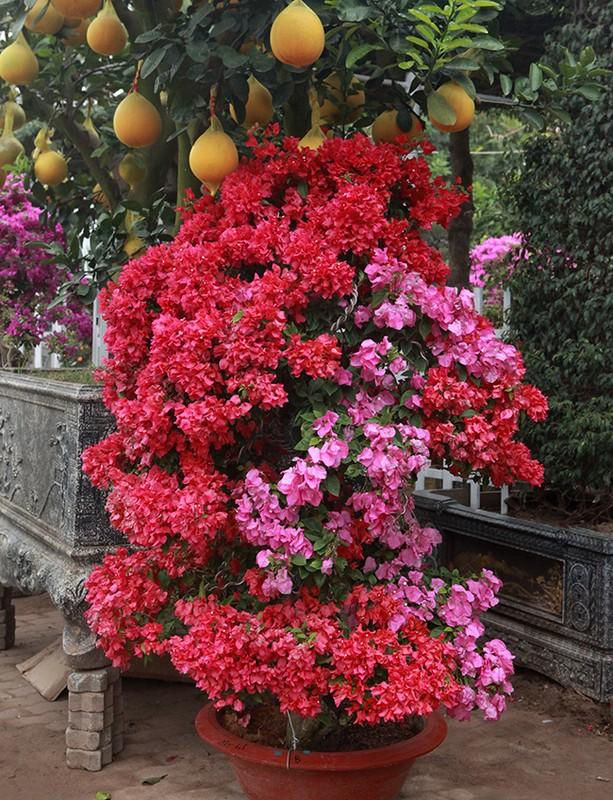 Bonsai hoa giay Thai Lan hong ruc, gia chuc trieu van hut khach Ha thanh-Hinh-13