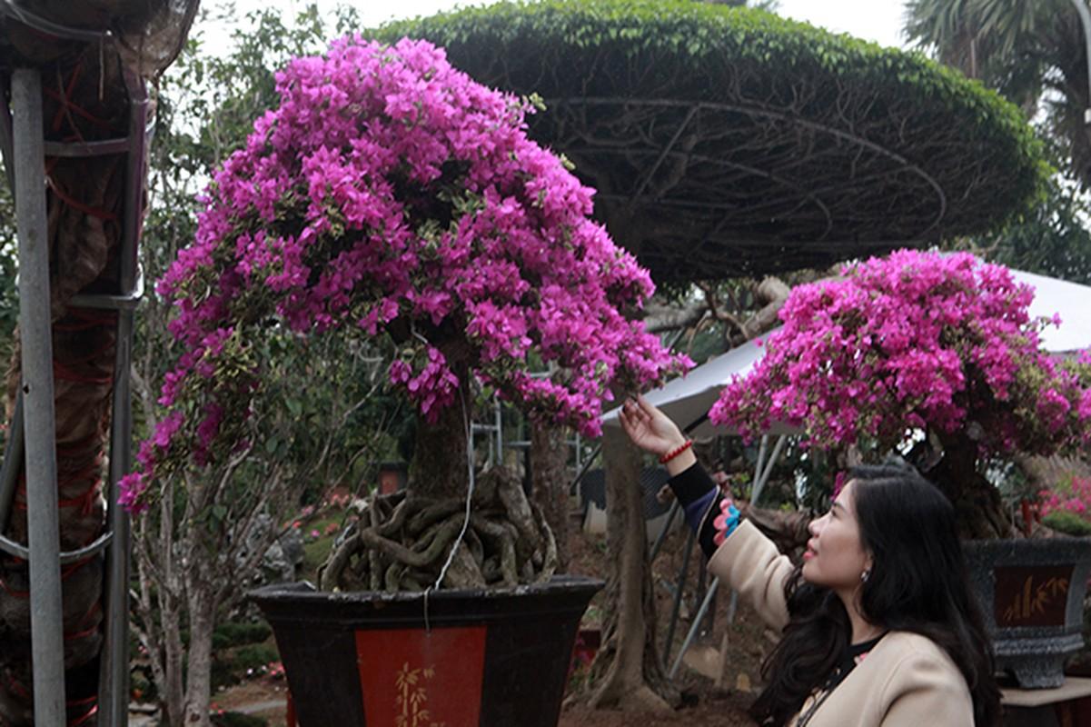 Bonsai hoa giay Thai Lan hong ruc, gia chuc trieu van hut khach Ha thanh-Hinh-14