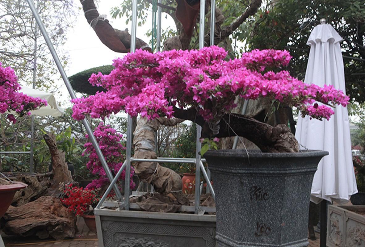 Bonsai hoa giay Thai Lan hong ruc, gia chuc trieu van hut khach Ha thanh-Hinh-15