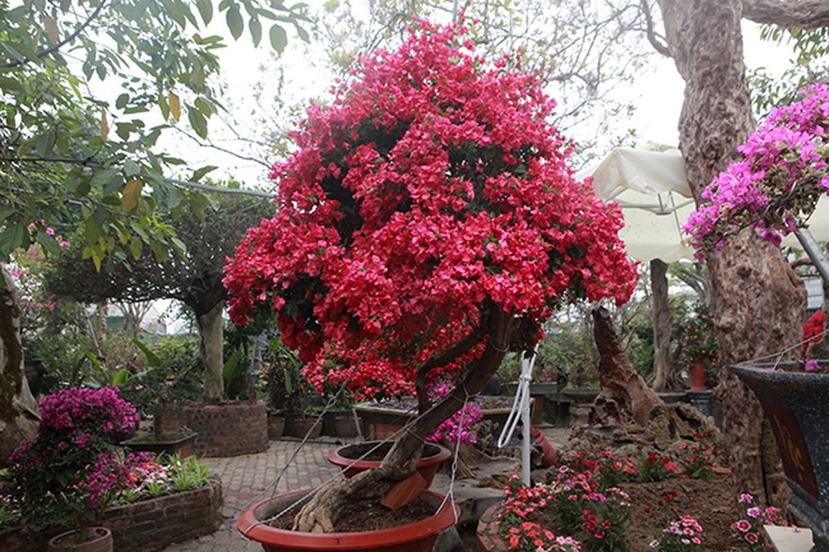 Bonsai hoa giay Thai Lan hong ruc, gia chuc trieu van hut khach Ha thanh-Hinh-16