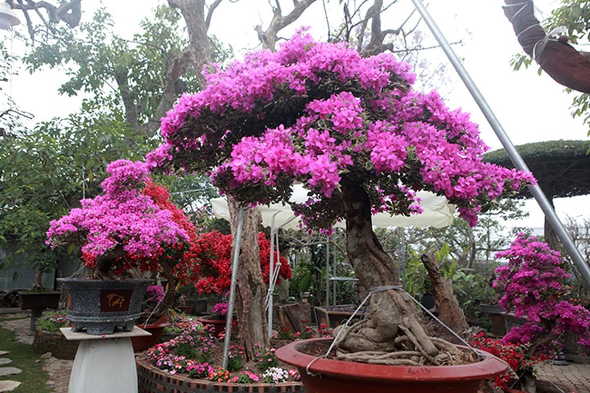 Bonsai hoa giay Thai Lan hong ruc, gia chuc trieu van hut khach Ha thanh-Hinh-17