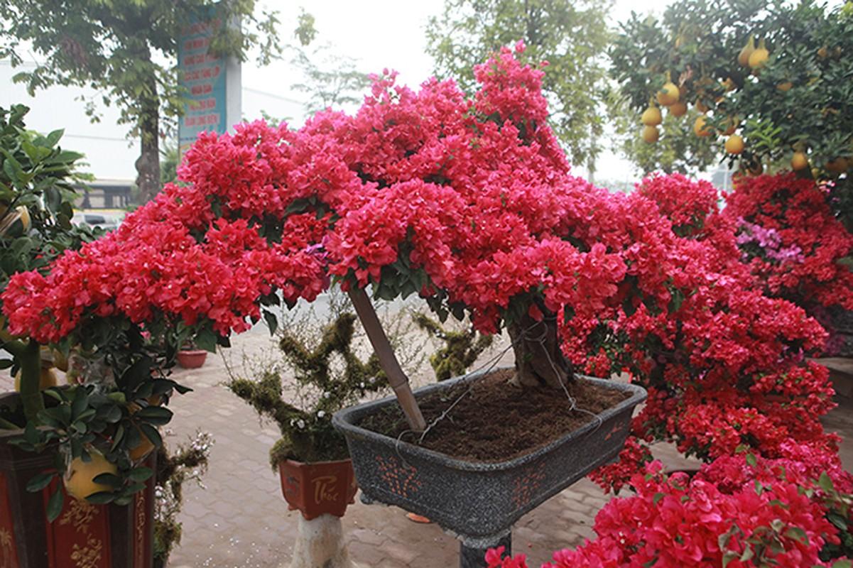 Bonsai hoa giay Thai Lan hong ruc, gia chuc trieu van hut khach Ha thanh-Hinh-5