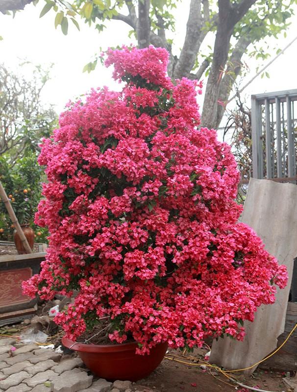 Bonsai hoa giay Thai Lan hong ruc, gia chuc trieu van hut khach Ha thanh-Hinh-7