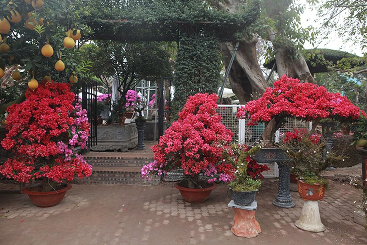 Bonsai hoa giay Thai Lan hong ruc, gia chuc trieu van hut khach Ha thanh