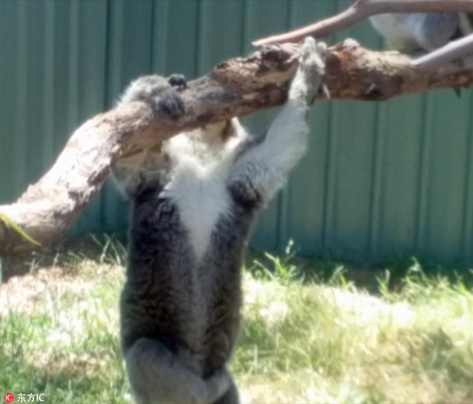 Gau koala dang yeu tranh nhau cho tam nang-Hinh-5