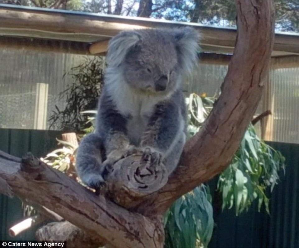 Gau koala dang yeu tranh nhau cho tam nang-Hinh-6