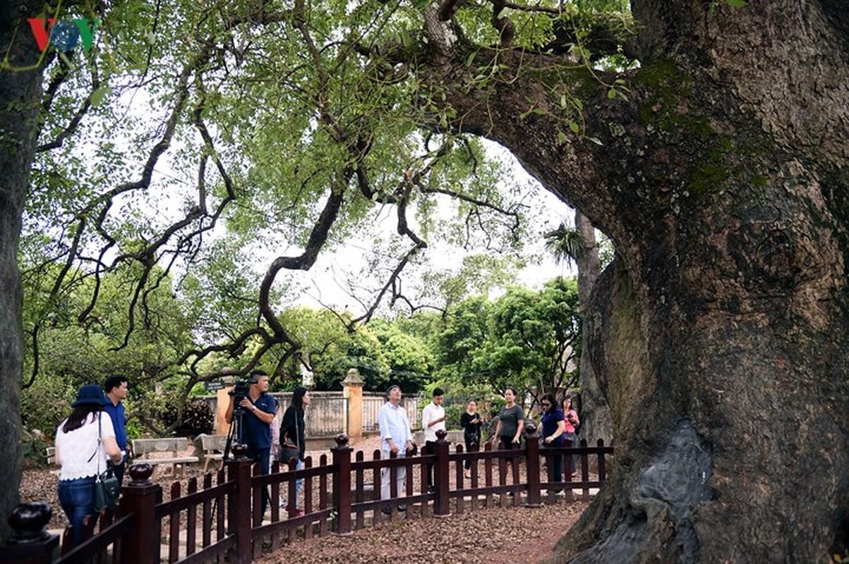 Chiem nguong cay Da Huong nghin nam tuoi o Bac Giang-Hinh-3