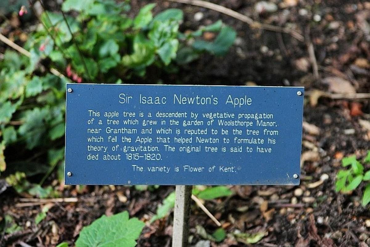 Chuyen thu vi ve cay tao co qua roi trung dau Isaac Newton-Hinh-7