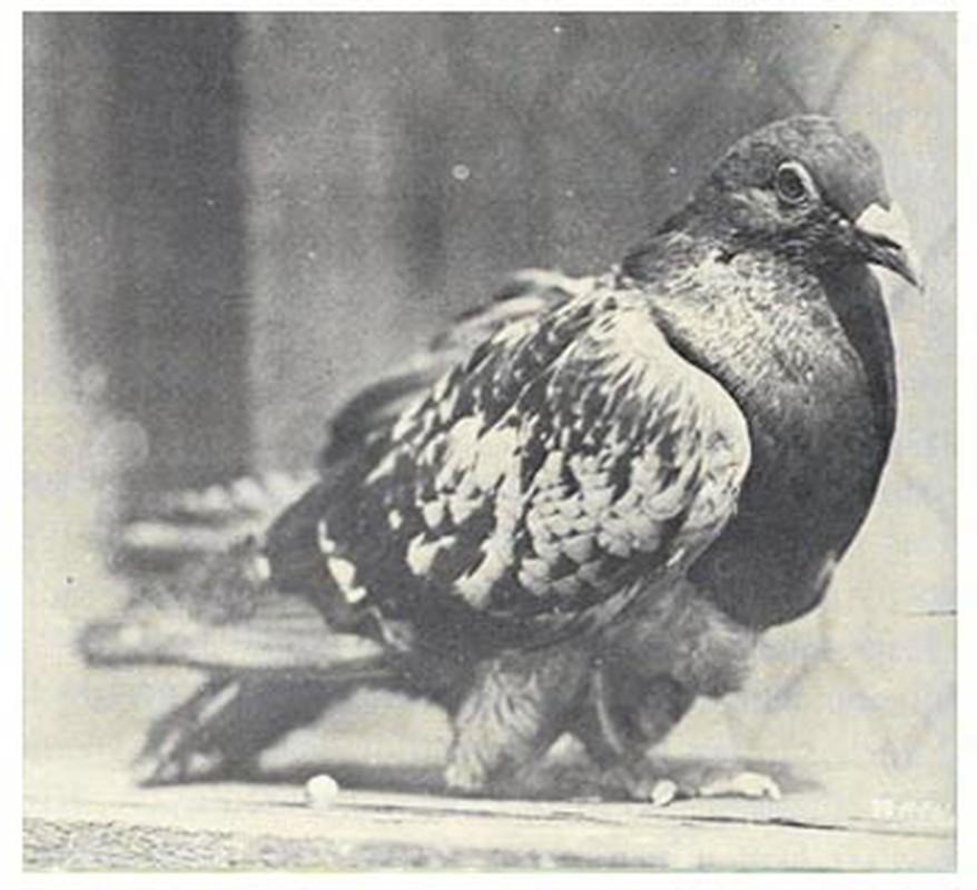 "Phi thuong chim bo cau tro thanh ""nguoi hung"" trong chien tranh-Hinh-10"