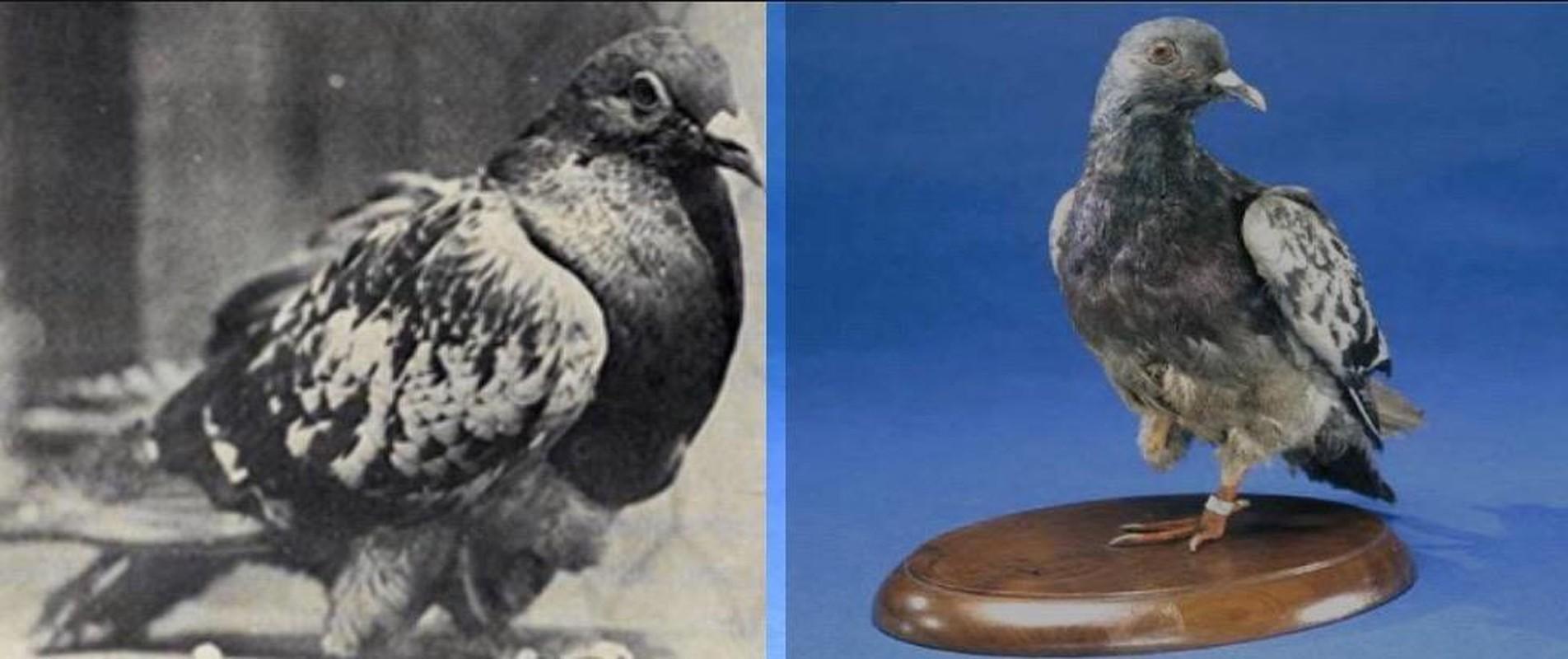 "Phi thuong chim bo cau tro thanh ""nguoi hung"" trong chien tranh-Hinh-3"