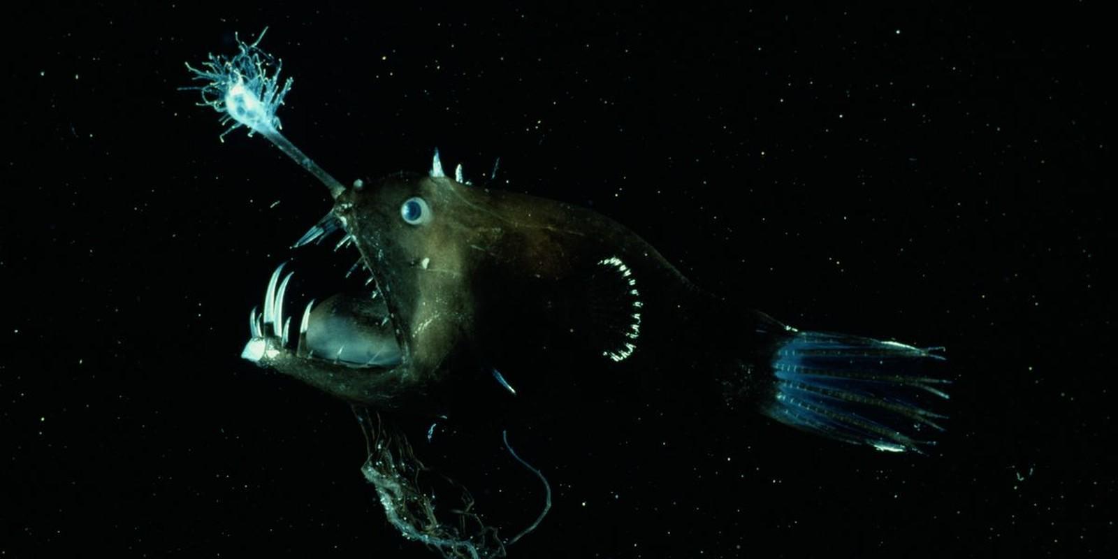 Kieu san moi khiep dam cua ca quy duoi day dai duong Anglerfish-Hinh-7