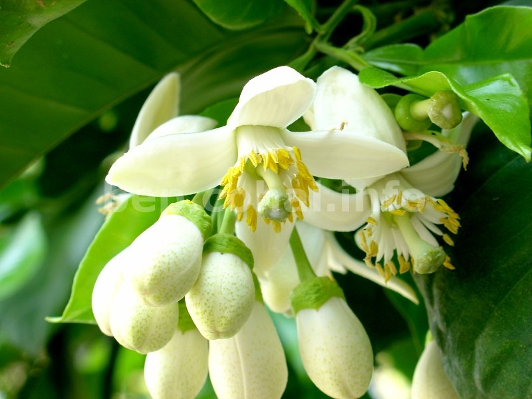 Nhung cong dung tuyet voi cua hoa buoi khong phai ai cung biet-Hinh-10