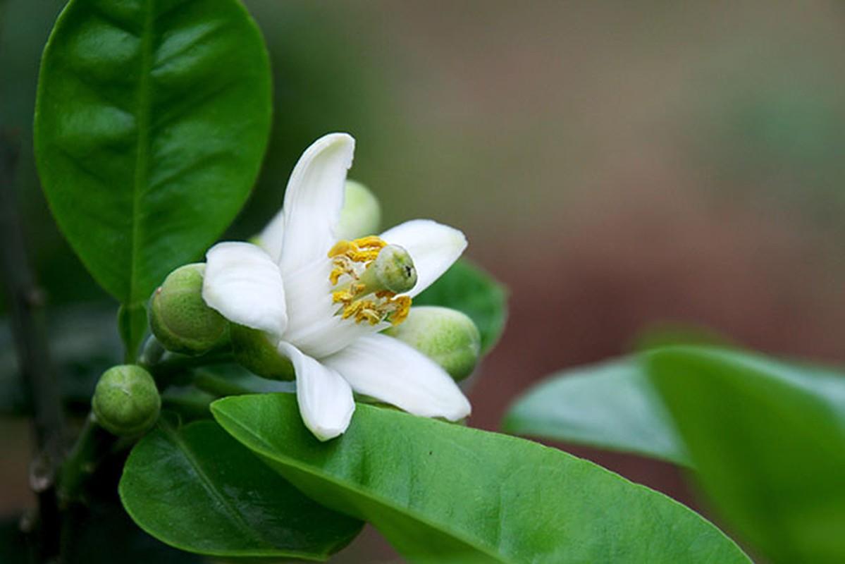 Nhung cong dung tuyet voi cua hoa buoi khong phai ai cung biet-Hinh-11