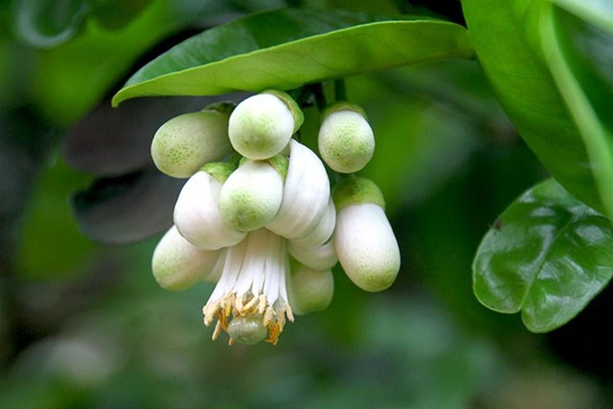 Nhung cong dung tuyet voi cua hoa buoi khong phai ai cung biet-Hinh-12