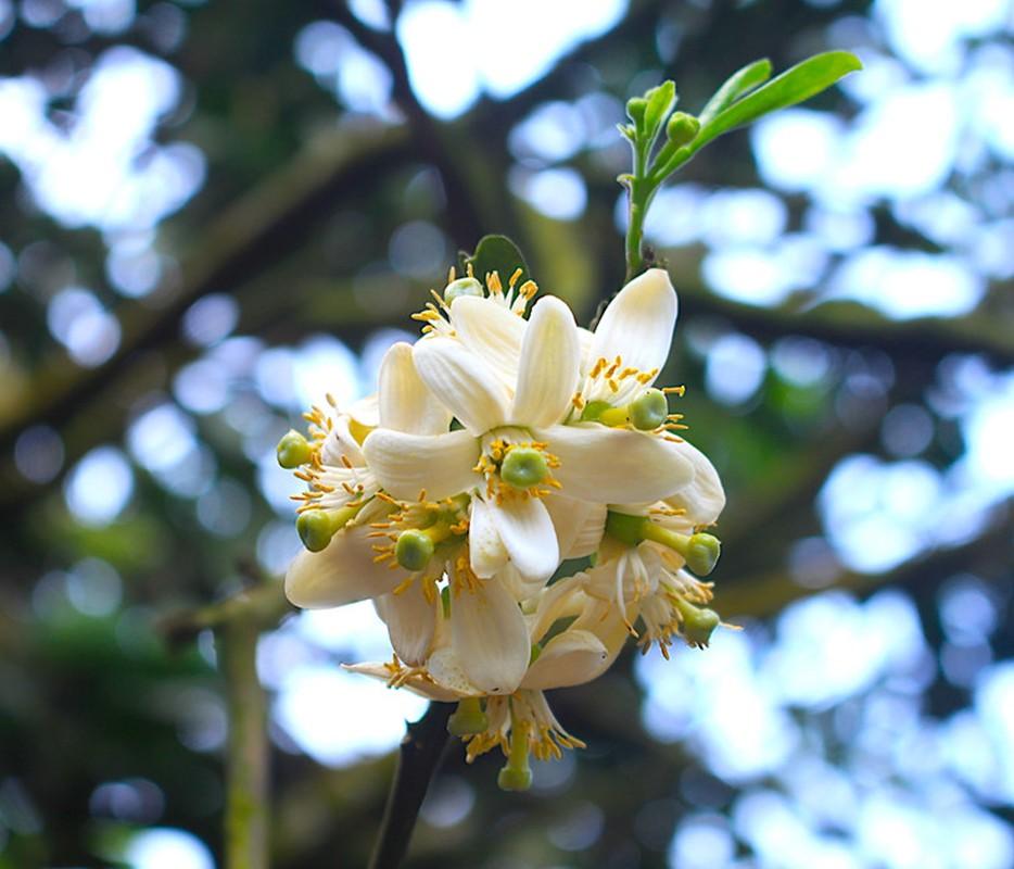 Nhung cong dung tuyet voi cua hoa buoi khong phai ai cung biet-Hinh-4