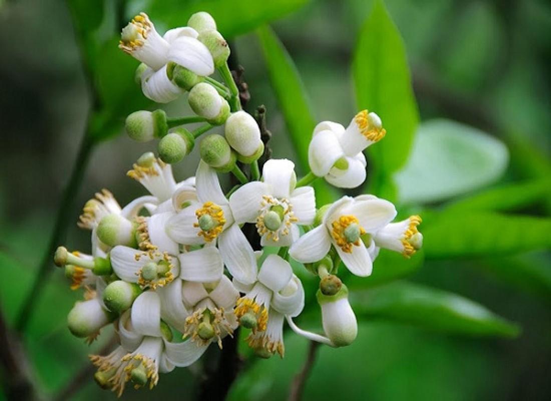 Nhung cong dung tuyet voi cua hoa buoi khong phai ai cung biet-Hinh-7