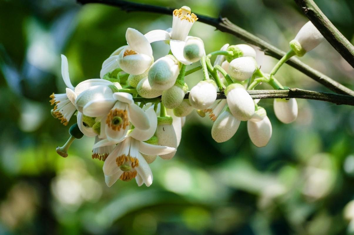 Nhung cong dung tuyet voi cua hoa buoi khong phai ai cung biet-Hinh-9