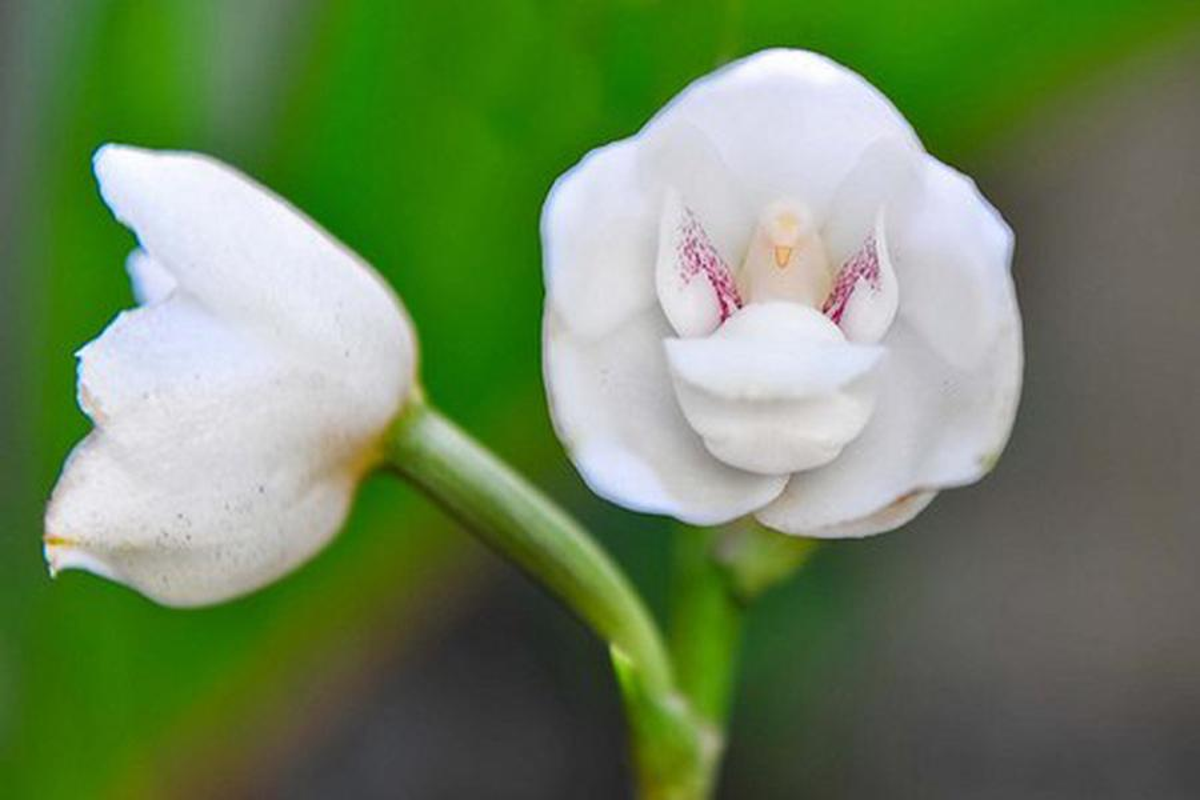 Hoa lan cung co dang hinh khien nguoi nhin